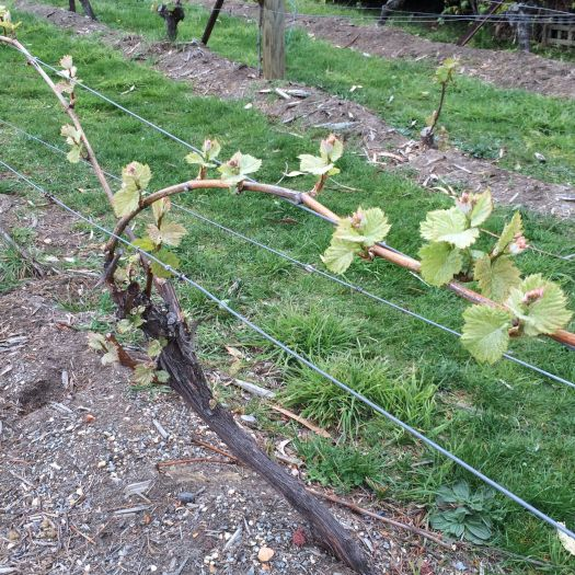 vine shoots