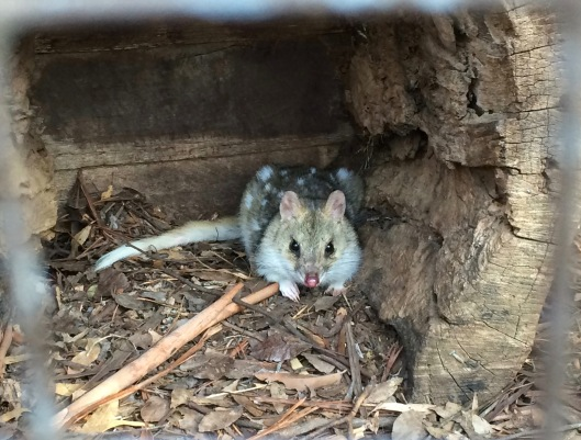 DQ quoll 1