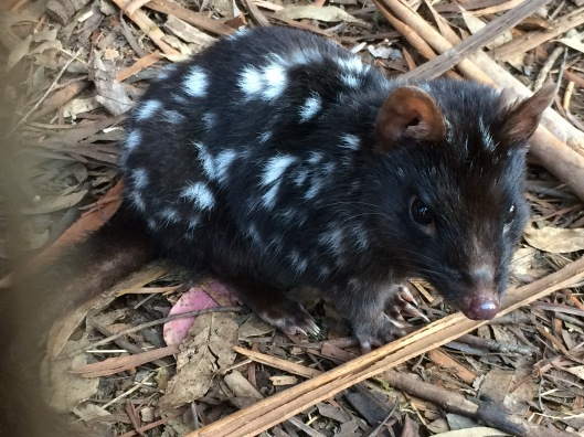 DQ quoll 2
