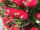 Oct bottlebrush