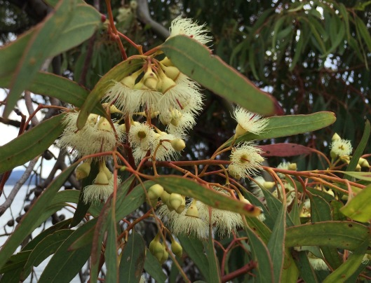Oct flowering gum 1