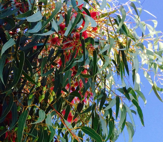 Oct flowering gum