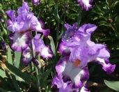 Oct iris