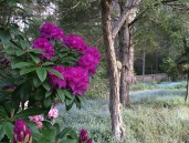 oct rhododendron