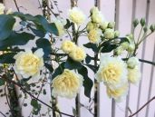 Oct rose 1
