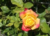 Oct rose