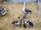 RHS chicks
