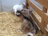 RHS goats