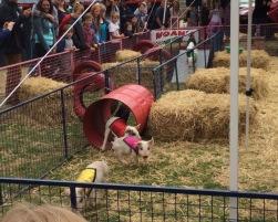 RHS pigs