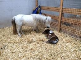 RHS pony