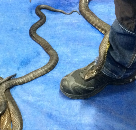 RHS snakes