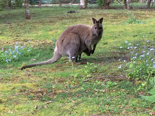 W wallaby 1