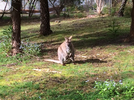 W wallaby 2