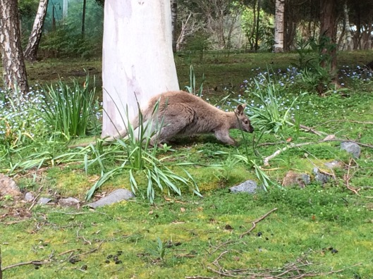 W wallaby 3