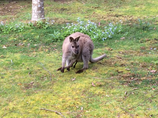W wallaby 5