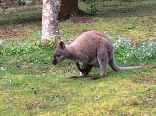 W wallaby 6