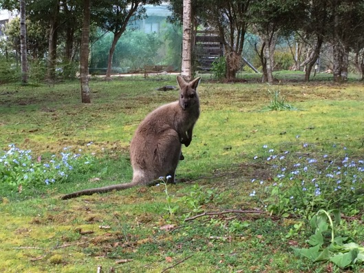 W wallaby 7