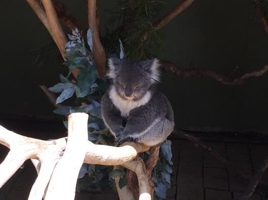 A koala 1