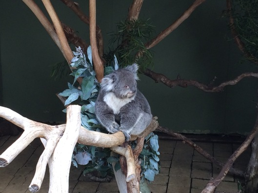 A koala 3
