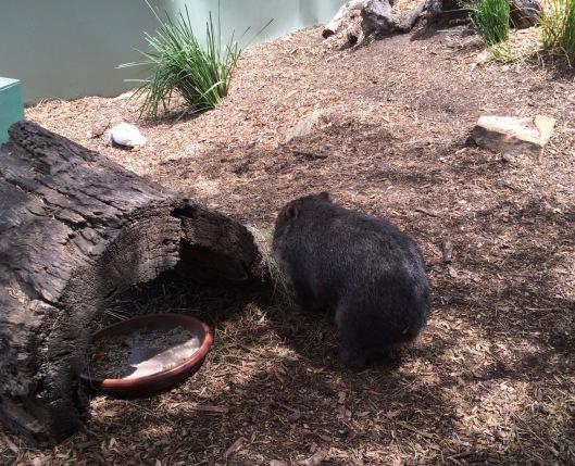 A wombat 1