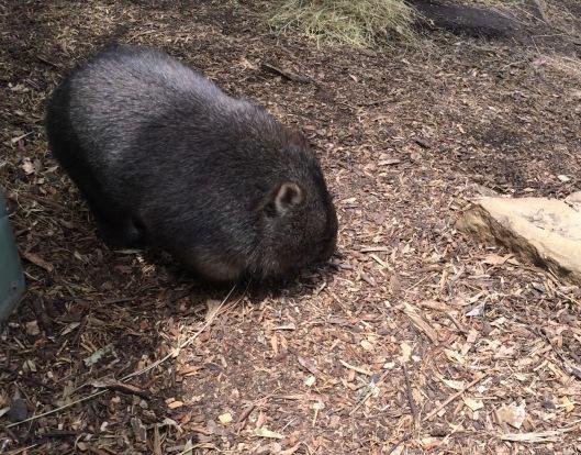 A wombat 2