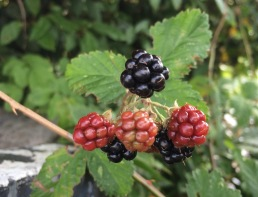Jan blackberries