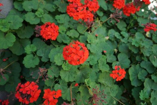 Jan geranium
