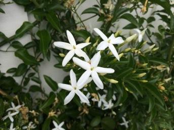 Jan jasmine