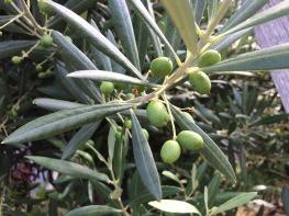 Jan olives