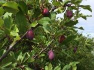 Jan plums