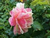Jan rose 2