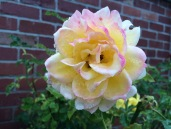 Jan rose 3