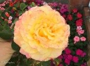 April rose 2