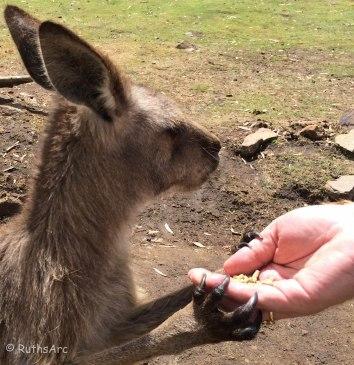 K kangaroo 1
