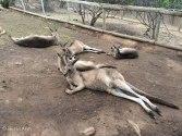 K kangaroo 2