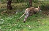 K kangaroo 4
