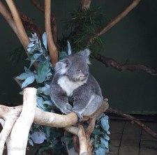 K koala