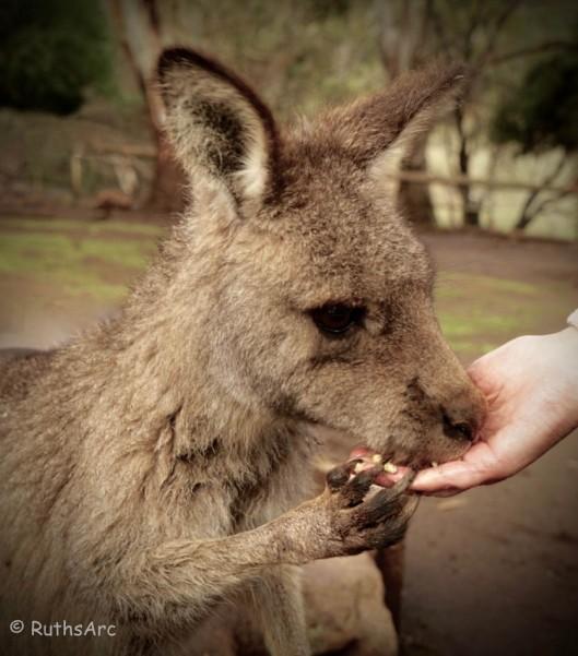 Kangaroo 4